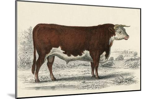A Hereford or Herefordshire Bull--Mounted Giclee Print