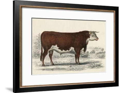 A Hereford or Herefordshire Bull--Framed Art Print