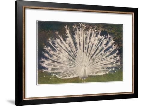 White Peacock--Framed Art Print