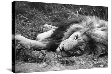 Sleeping Lion--Stretched Canvas Print