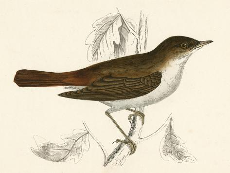 Nightingale, Morris--Stretched Canvas Print