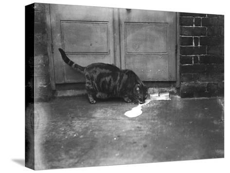Cat Laps Up Spilt Milk--Stretched Canvas Print