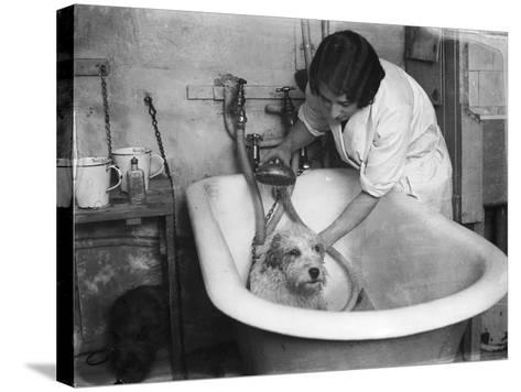 Bathing a Dog--Stretched Canvas Print
