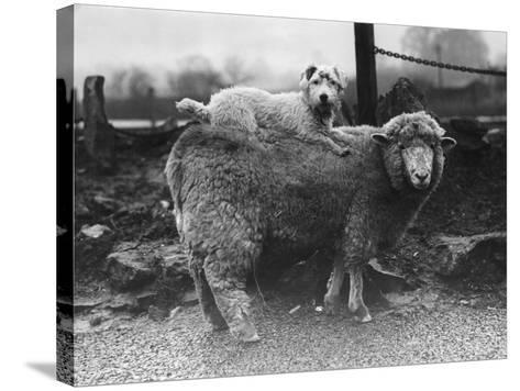 Sealyham Riding a Sheep--Stretched Canvas Print