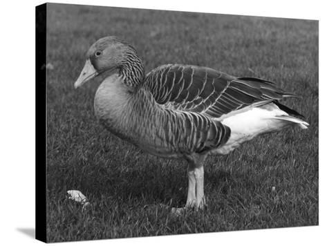Grey Lag Goose--Stretched Canvas Print