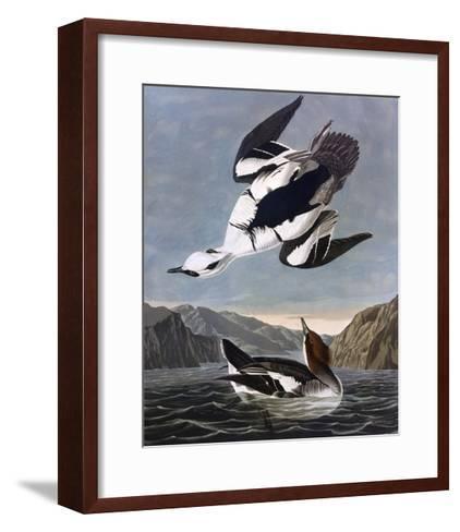 Smew, or White Nun-John James Audubon-Framed Art Print