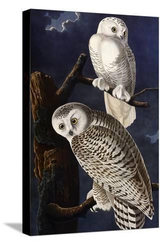 Snowy Owl-John James Audubon-Stretched Canvas Print