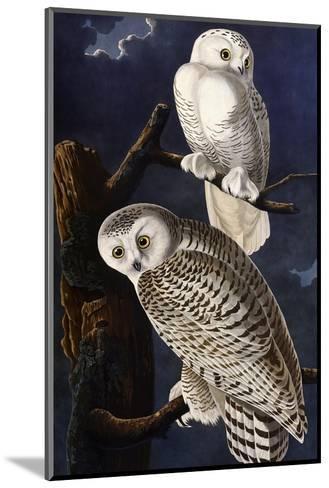 Snowy Owl-John James Audubon-Mounted Giclee Print