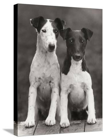 Smooth Fox Terriers-Thomas Fall-Stretched Canvas Print