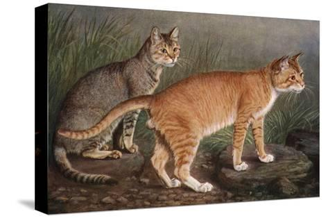 Abyssinian and Indian-W^ Luker-Stretched Canvas Print