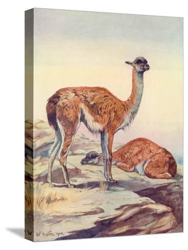 Llama, Guanaco 1909-Winifred Austen-Stretched Canvas Print