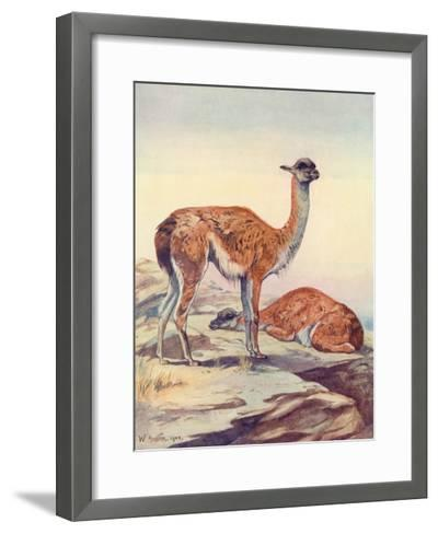 Llama, Guanaco 1909-Winifred Austen-Framed Art Print