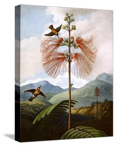 Large Flowering Sensitive Plant--Stretched Canvas Print
