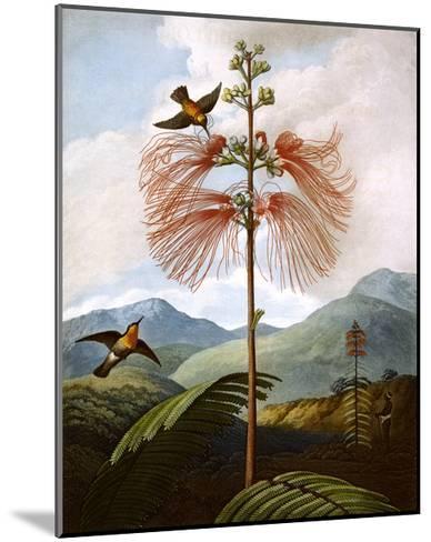 Large Flowering Sensitive Plant--Mounted Giclee Print