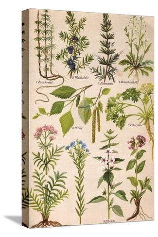 Healing Plants 1904 Pl.2-Anna Fischer-Duckelmann-Stretched Canvas Print