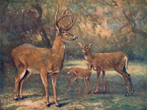 Virginian Deer, Wild Bst-Cuthbert Swan-Stretched Canvas Print
