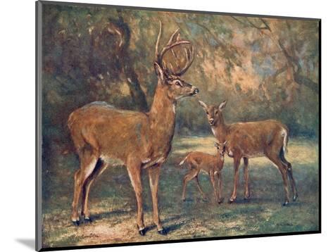Virginian Deer, Wild Bst-Cuthbert Swan-Mounted Giclee Print