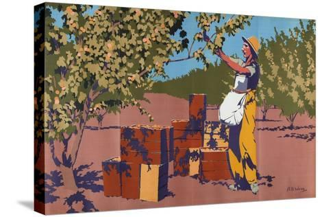Gathering Apricots for Canning - Australia-Archibald Bertram Webb-Stretched Canvas Print