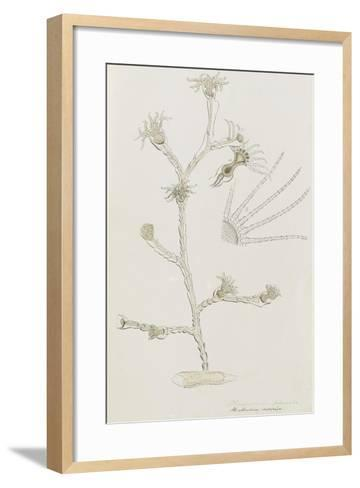 Plumularia Pinnata: Hydrozoan-Philip Henry Gosse-Framed Art Print