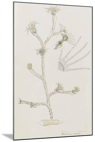 Plumularia Pinnata: Hydrozoan-Philip Henry Gosse-Mounted Giclee Print