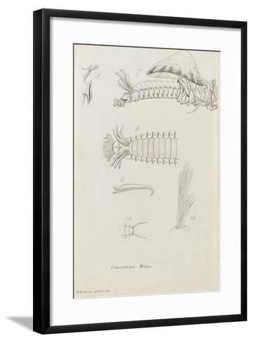 Crossostoma Midas: Marine Bristle Worm-Philip Henry Gosse-Framed Art Print