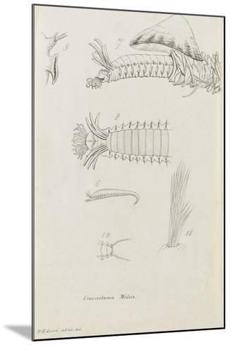Crossostoma Midas: Marine Bristle Worm-Philip Henry Gosse-Mounted Giclee Print