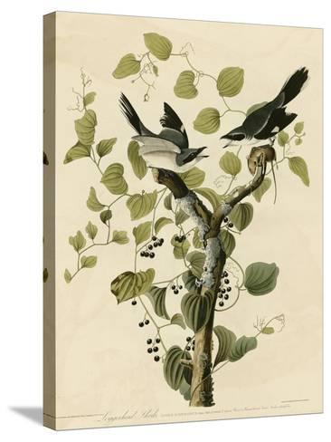 Loggerhead Shrike--Stretched Canvas Print