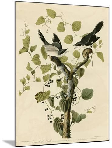 Loggerhead Shrike--Mounted Giclee Print