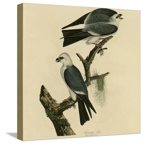 Mississippi Kite--Stretched Canvas Print