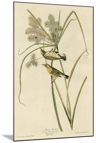 Prairie Warbler--Mounted Giclee Print