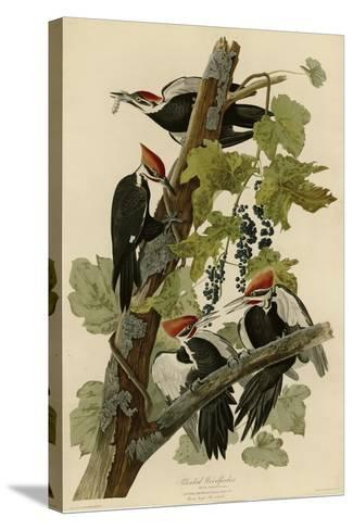 Pileated Woodpecker--Stretched Canvas Print