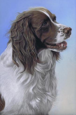Springer Spaniel Brodie-Karie-Ann Cooper-Stretched Canvas Print