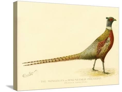 The Mongolian or Ring-Necked Pheasant--Stretched Canvas Print