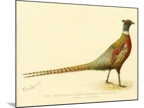 The Mongolian or Ring-Necked Pheasant--Mounted Giclee Print