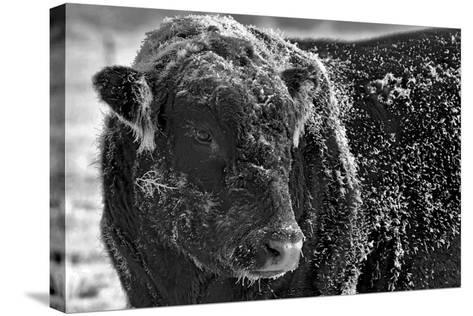 Snow Covered Ice Bull-Amanda Lee Smith-Stretched Canvas Print