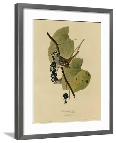 White Crowned Sparrow--Framed Art Print