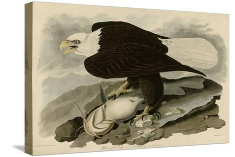 White Headed Eagle--Stretched Canvas Print