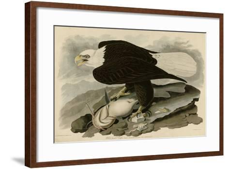 White Headed Eagle--Framed Art Print