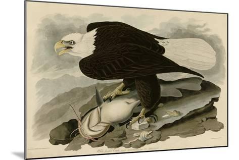 White Headed Eagle--Mounted Giclee Print