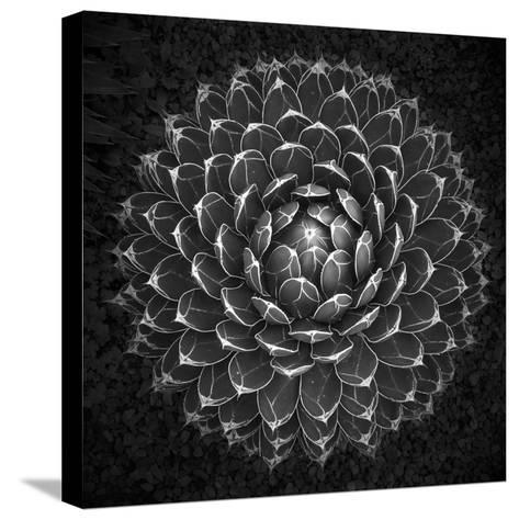 Agave Victoria-Moises Levy-Stretched Canvas Print