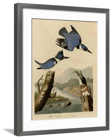 Belted Kingfisher--Framed Art Print