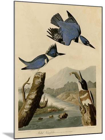 Belted Kingfisher--Mounted Giclee Print