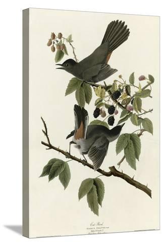 Catbird--Stretched Canvas Print