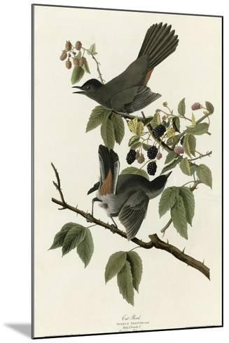 Catbird--Mounted Giclee Print