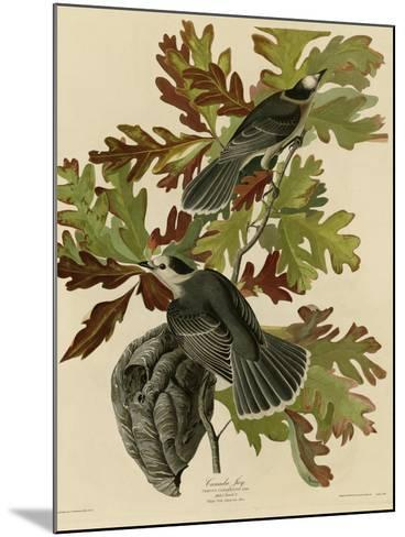 Canada Jay--Mounted Giclee Print