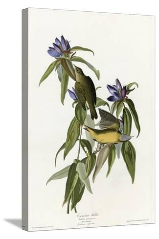 Connecticut Warbler--Stretched Canvas Print