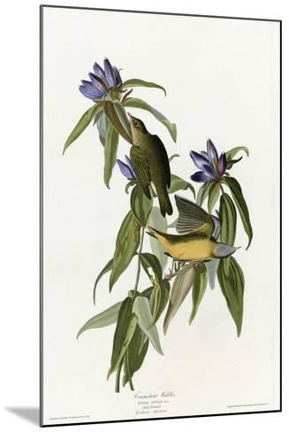 Connecticut Warbler--Mounted Giclee Print