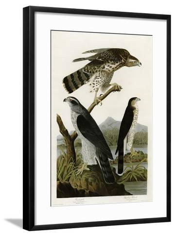 Goshawk Stanley Hawk--Framed Art Print