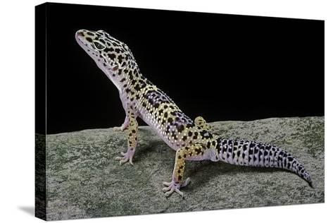 Eublepharis Macularius (Leopard Gecko)-Paul Starosta-Stretched Canvas Print