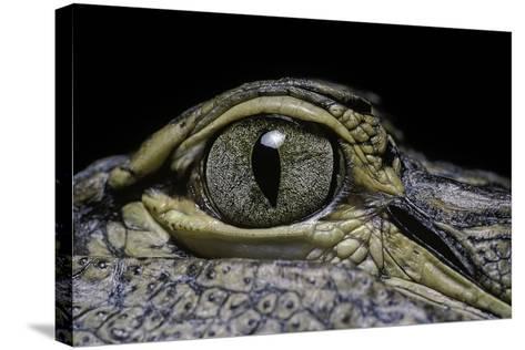 Alligator Mississippiensis (American Alligator) - Eye-Paul Starosta-Stretched Canvas Print